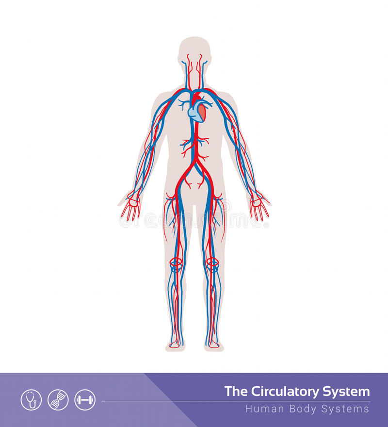 O sistema circulatório ilustração do vetor