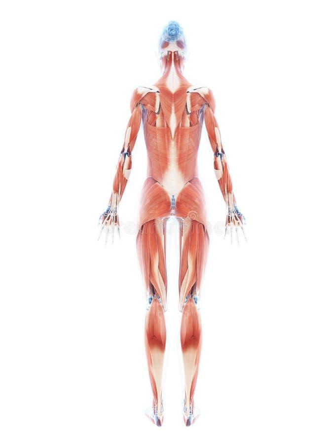 O sistema de músculo fêmea ilustração royalty free