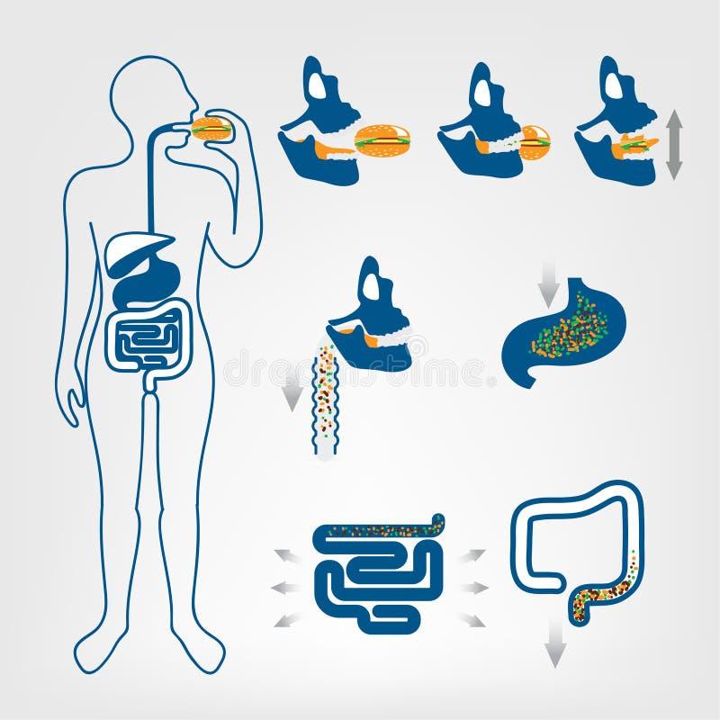 O sistema digestivo de seres humanos ilustração royalty free