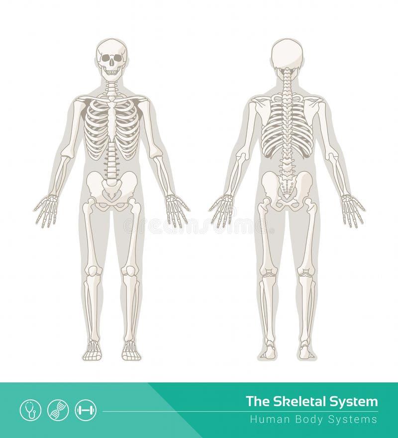 O sistema esqueletal ilustração stock