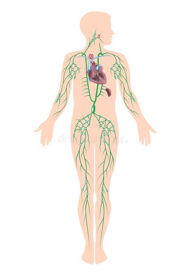 O sistema linfático ilustração royalty free