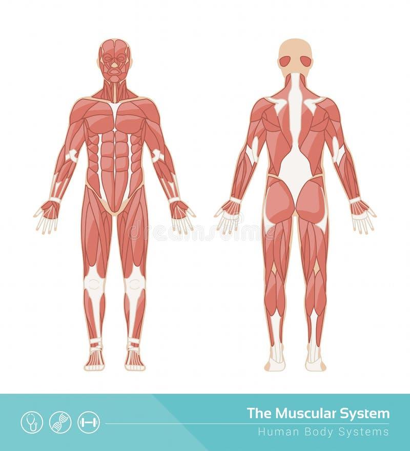 O sistema muscular ilustração do vetor