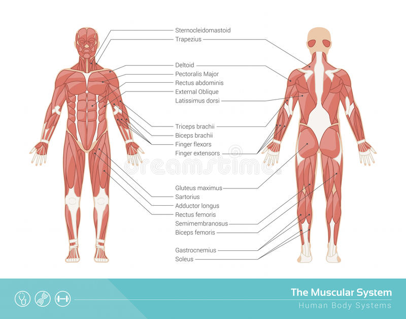 O sistema muscular ilustração royalty free
