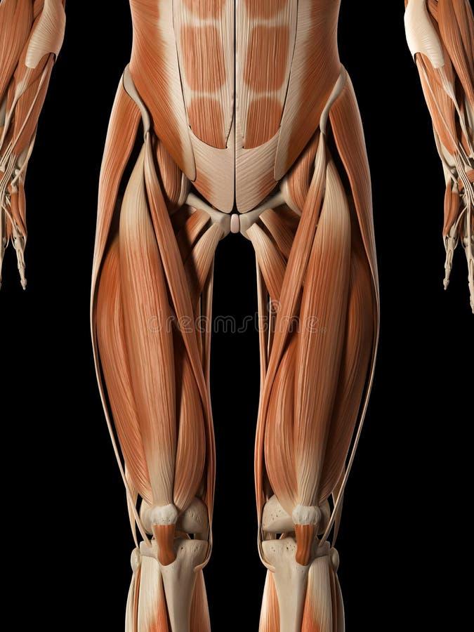 O sistema muscular masculino ilustração royalty free