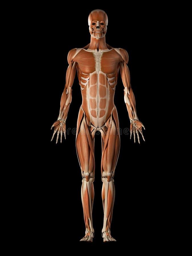 O sistema muscular masculino ilustração stock