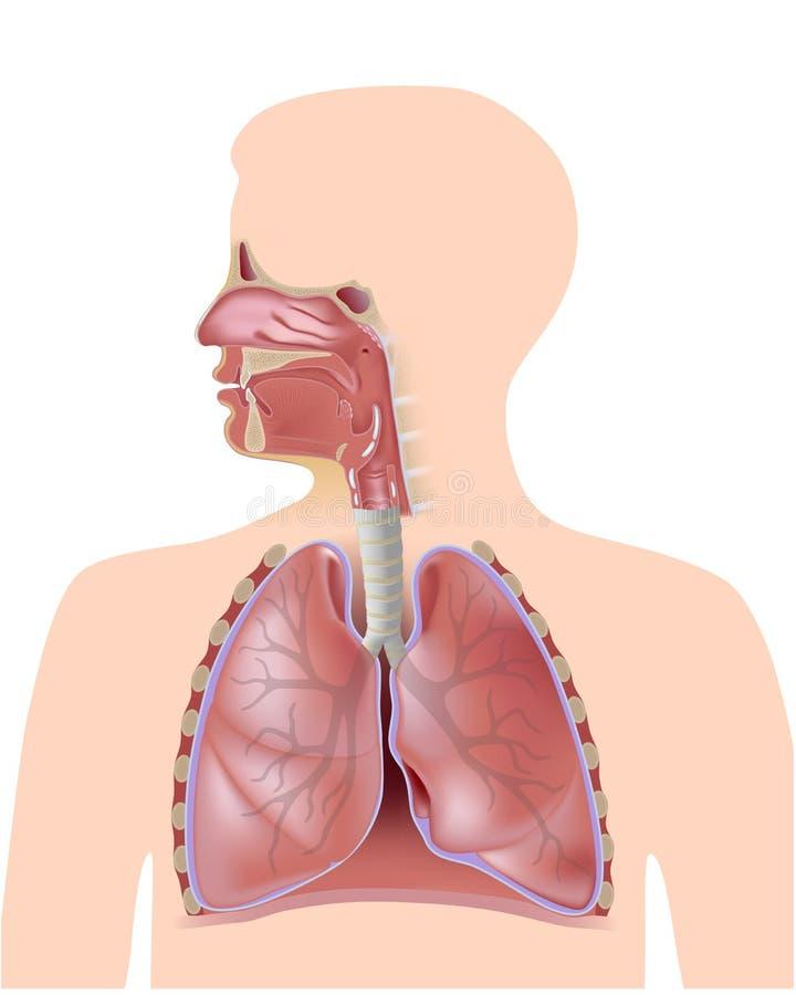 O sistema respiratório ilustração royalty free