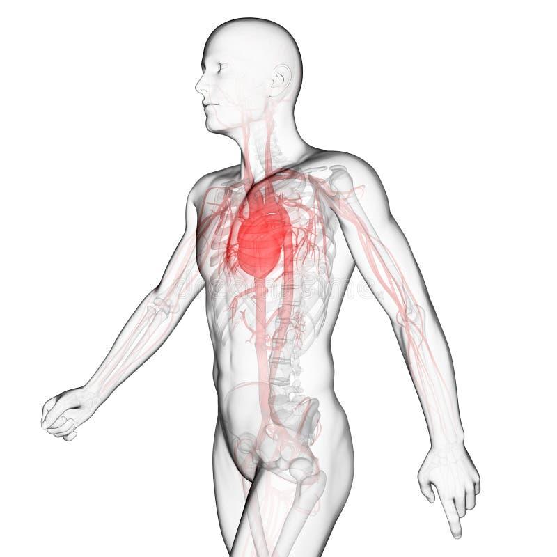 O sistema vascular ilustração royalty free
