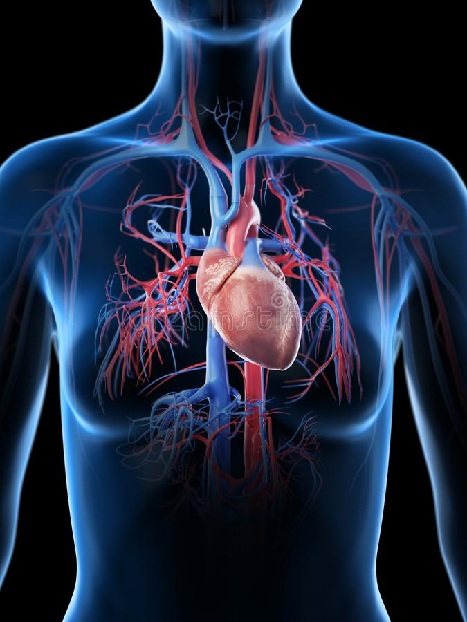 O sistema vascular f?mea ilustração do vetor
