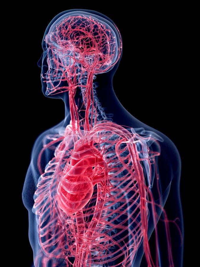 O sistema vascular humano ilustração stock