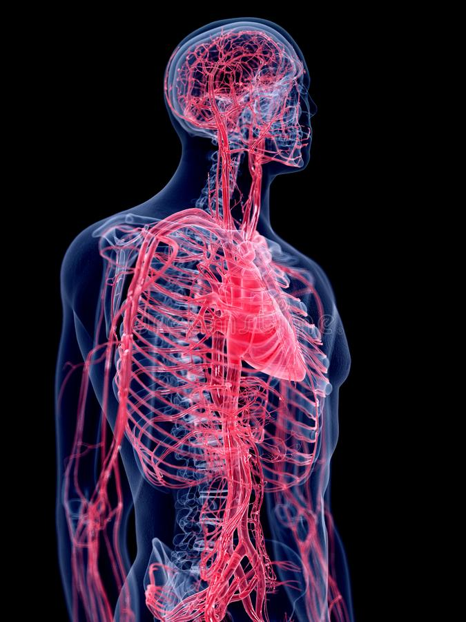 O sistema vascular humano ilustração do vetor
