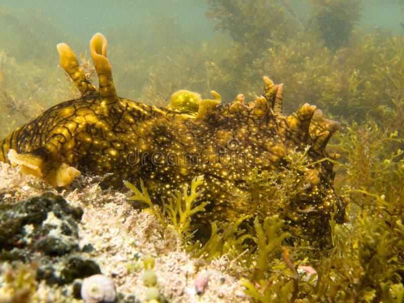 O slug marinho grande pasta as algas que crescem na alga imagem de stock