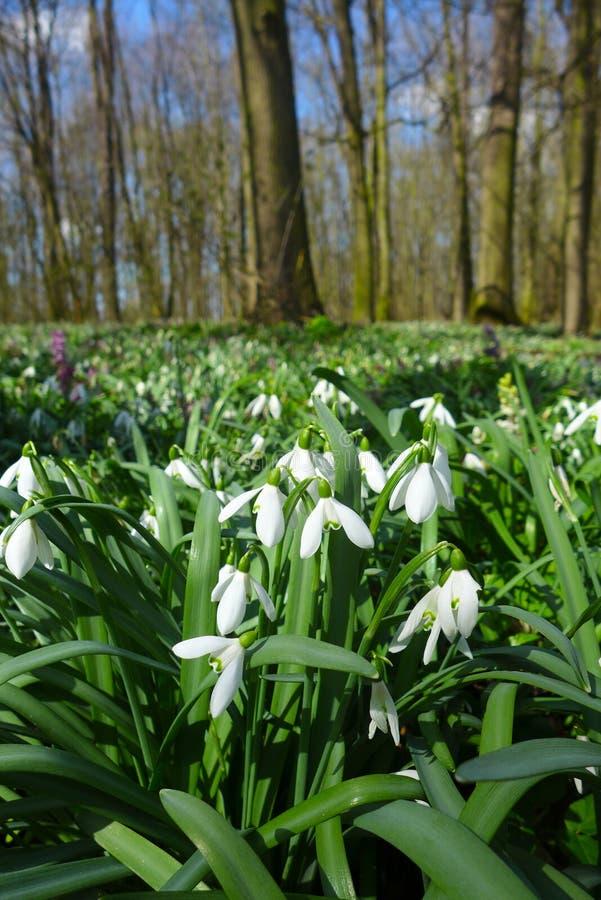 O snowdrop selvagem da mola floresce os nivalis de Galanthus que florescem na floresta perto de Dobrin em um dia ensolarado, Repú fotos de stock royalty free