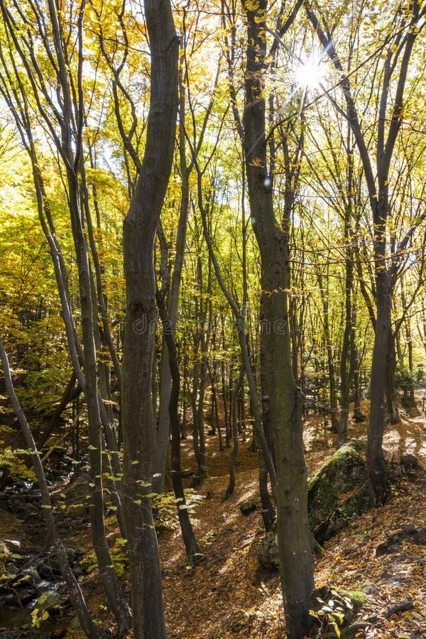 O sol através dos ramos de árvores de faia do outono em uma floresta búlgara da montanha fotografia de stock
