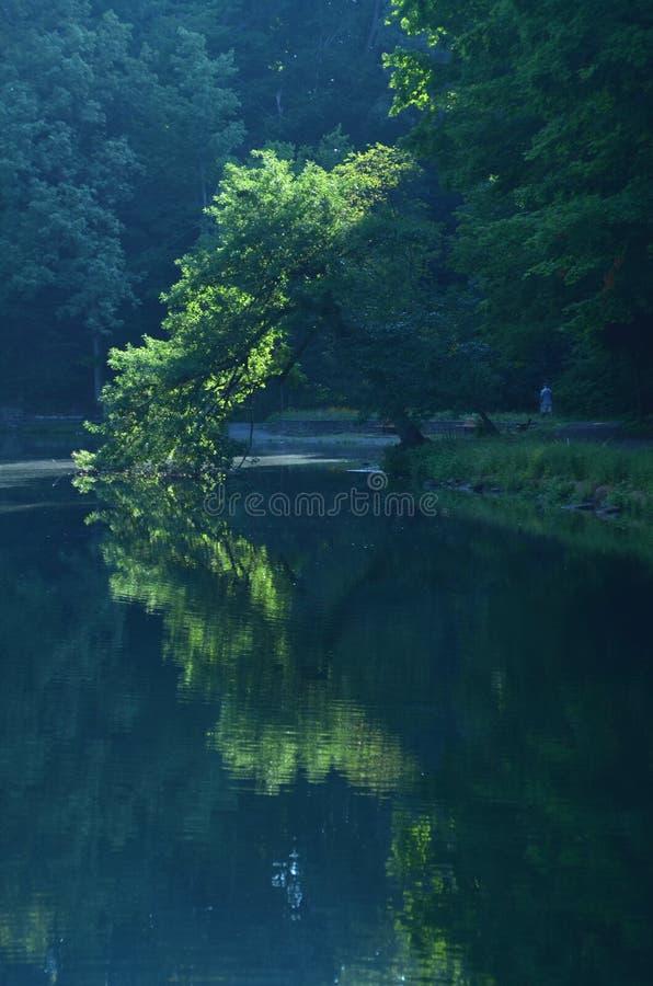 O sol da manhã ilumina a árvore que inclina-se sobre a lagoa e refletida na água imagens de stock royalty free