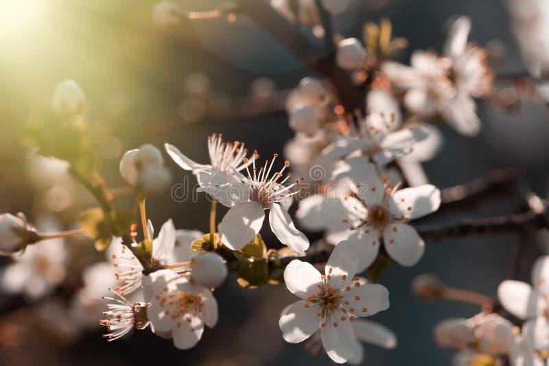 O sol da manhã irradia no ramo florescido da árvore fotos de stock royalty free