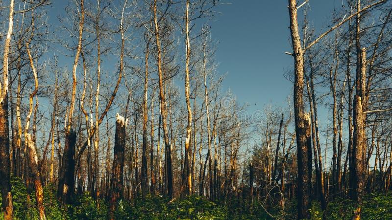 O sol de ajuste brilha nos pinheiros inoperantes queimados em consequências de um conceito do incêndio florestal dos incêndios fl imagem de stock