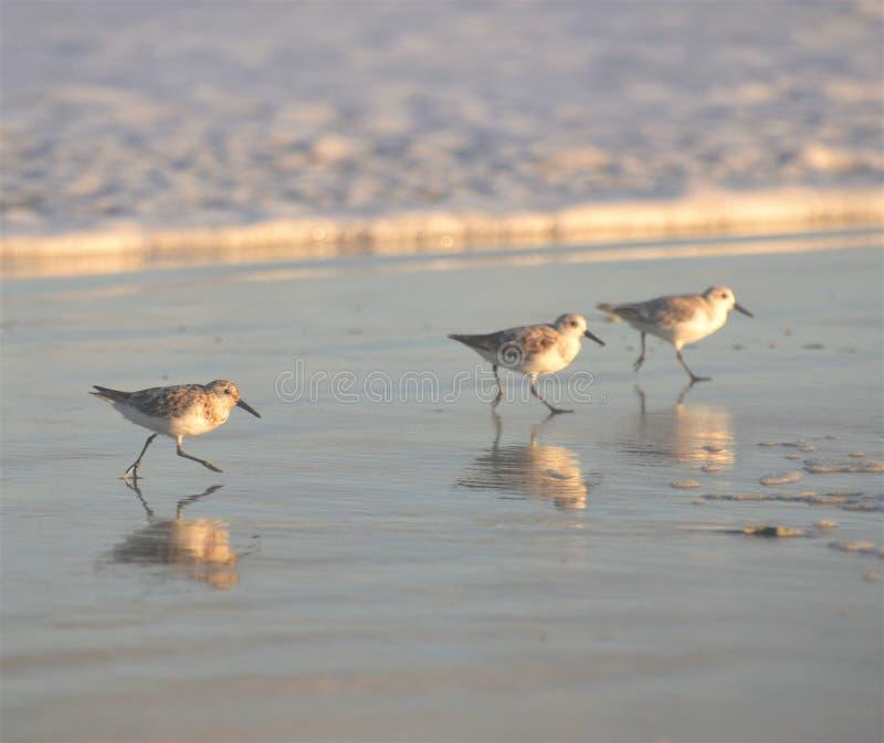 O sol do fim da tarde brilha brilhantemente em três borrelhos em uma praia norte de Florida foto de stock