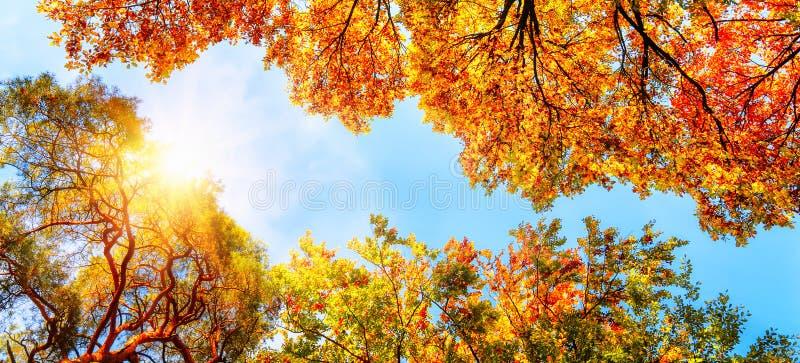 O sol do outono que brilha através das copas de árvore douradas imagem de stock royalty free