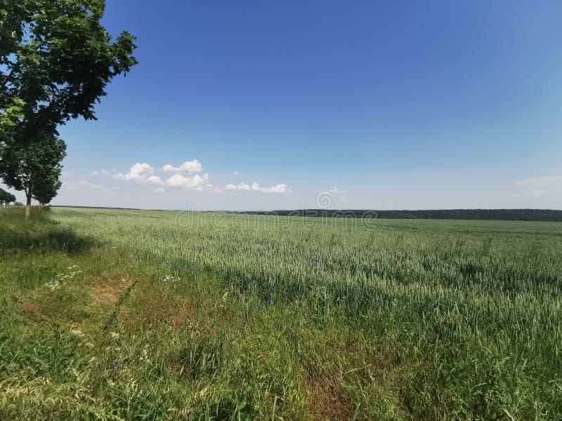 O sol do trigo do campo do verão nubla-se o céu azul foto de stock royalty free