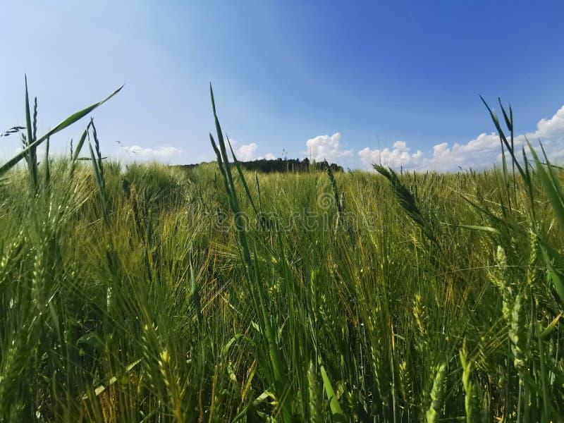O sol do trigo do campo do verão nubla-se o céu azul foto de stock