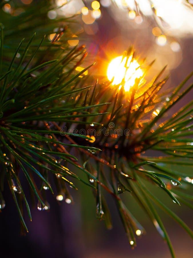 O sol morno da manhã brilha através das agulhas do pinho com gotas da natureza da floresta do orvalho foto de stock royalty free