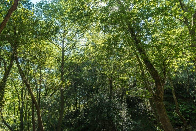 O sol que ilumina belamente as copas de árvore verdes da árvore alta imagens de stock royalty free
