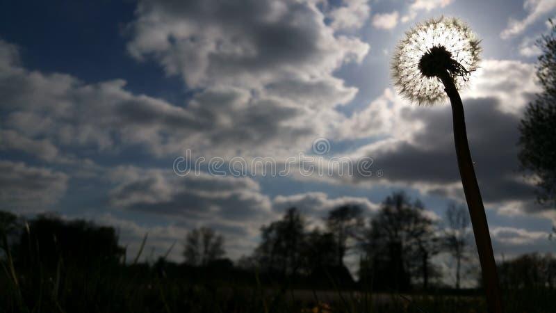 O sol travado por um dente-de-leão fotos de stock royalty free