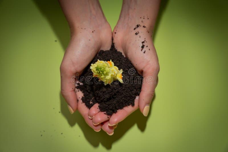 O solo e o broto novo da flor estão nas mãos fêmeas no fundo verde Dia da bondade do mundo fotografia de stock royalty free