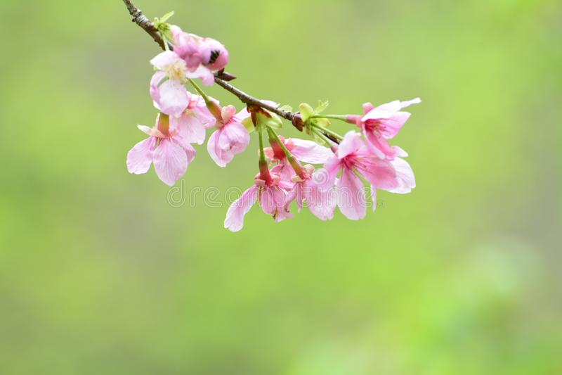 O sorriso das flores de cerejeira em mim imagens de stock royalty free