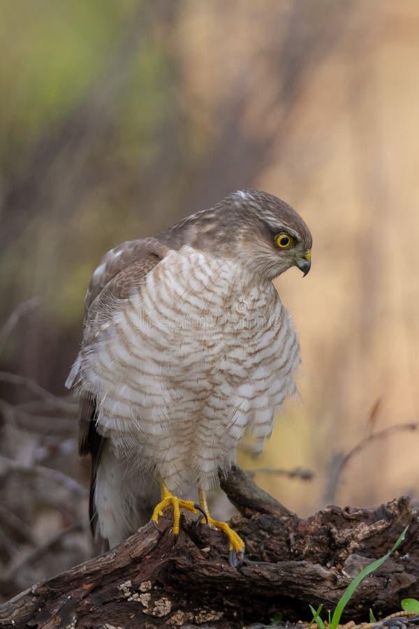 O Sparrowhawk euro-asi?tico, no ambiente colorido bonito do outono fotos de stock royalty free