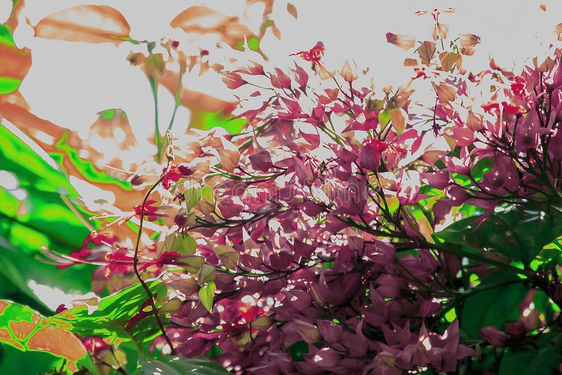 O speciosum Dombr de Clerodendrum é uma videira carmesim violeta fotografia de stock royalty free