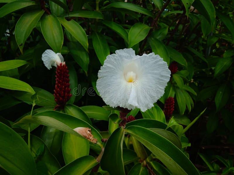 O speciosus de Cheilocostus, ou o gengibre do crepe, são uma espécie de plantas de florescência no gênero CheilocostuS OU verde b imagem de stock
