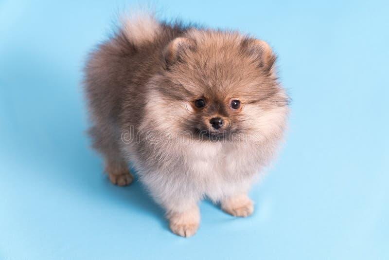 O Spitz novo do cachorrinho olha a câmera, no fundo azul imagens de stock royalty free
