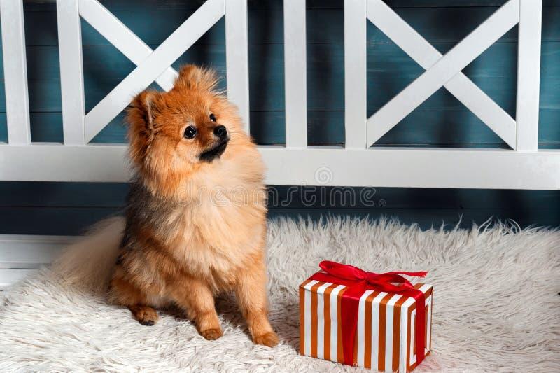 O spitz pomeranian, cachorrinho, cão estava situando na manta e olhando acima com presen fotografia de stock royalty free