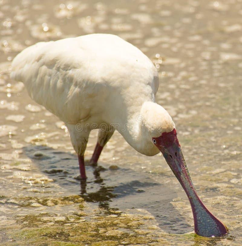 O Spoonbill africano fotografia de stock