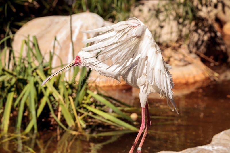 O spoonbill africano chamou Platalea alba imagem de stock royalty free