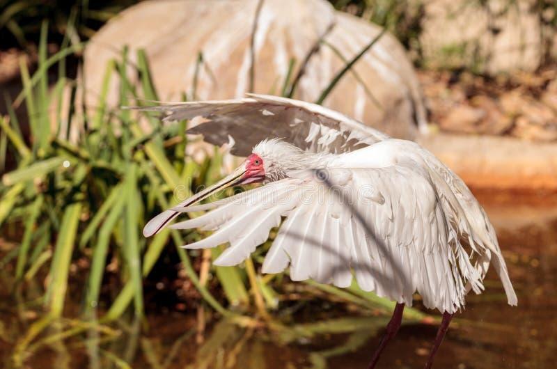O spoonbill africano chamou Platalea alba foto de stock