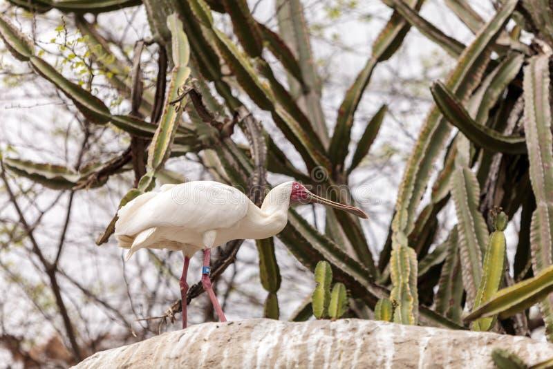 O spoonbill africano chamou Platalea alba fotos de stock royalty free