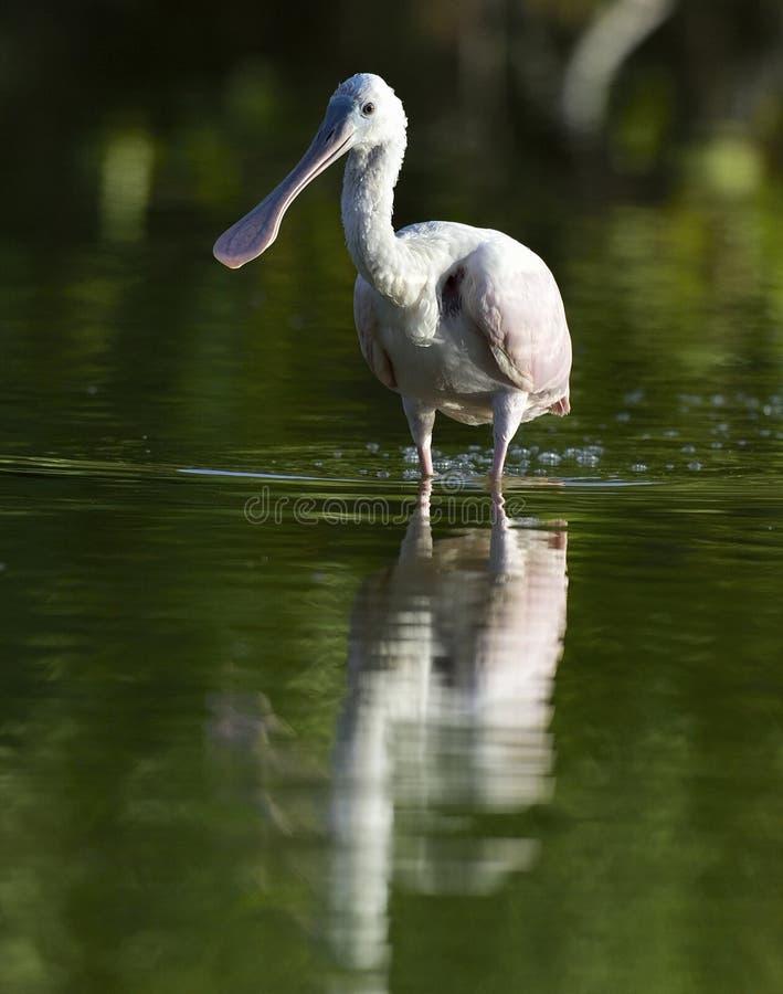 Download O Spoonbill Róseo, Ajaja Do Platalea, (coloc às Vezes Em Seu Próprio Género Ajaja) Foto de Stock - Imagem de india, animal: 65579468