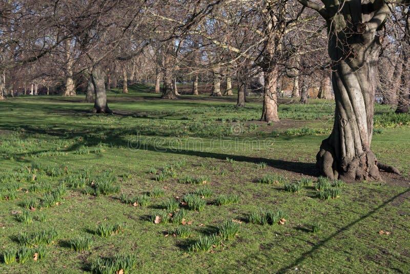 O St James Park, Londres em um dia ensolarado em narcisos amarelos do tempo de inverno está começando crescer através da grama imagem de stock royalty free