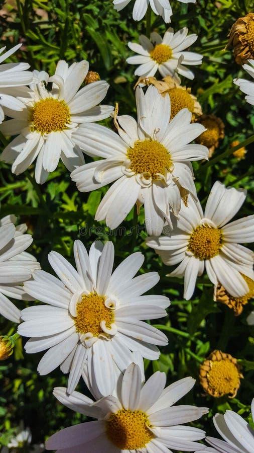 O superbum de Ã- do Leucanthemum ou a margarida de Shasta são uma planta constante herbácea de florescência geralmente crescida c foto de stock royalty free