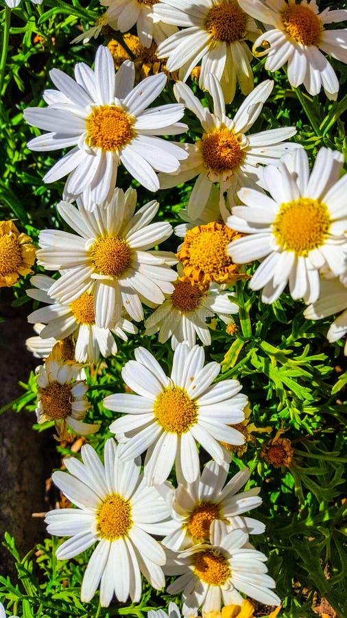 O superbum de Ã- do Leucanthemum ou a margarida de Shasta são uma planta constante herbácea de florescência geralmente crescida c fotografia de stock royalty free
