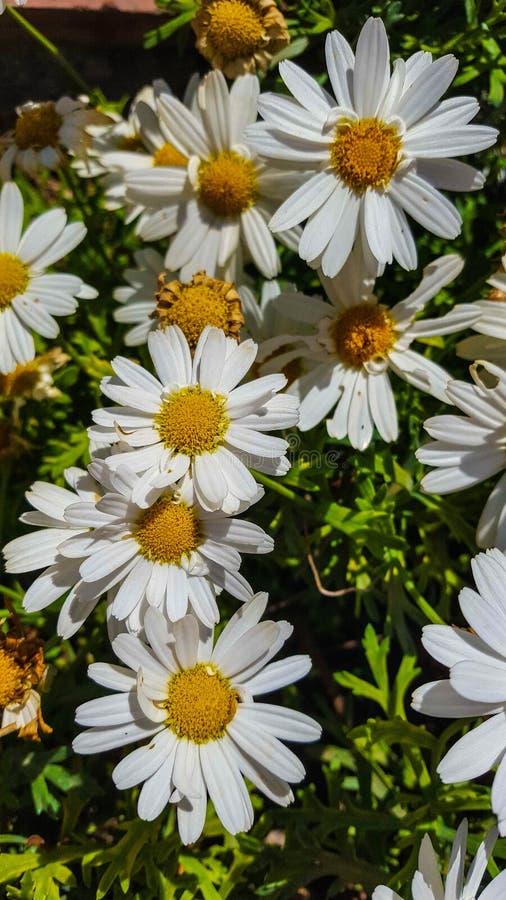 O superbum de Ã- do Leucanthemum ou a margarida de Shasta são uma planta constante herbácea de florescência geralmente crescida c fotos de stock