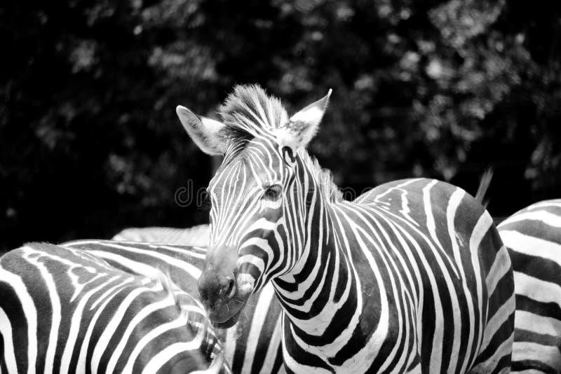 O suporte da zebra descasca a posição bonita preto e branco para fora apenas de solo no rebanho fotos de stock royalty free