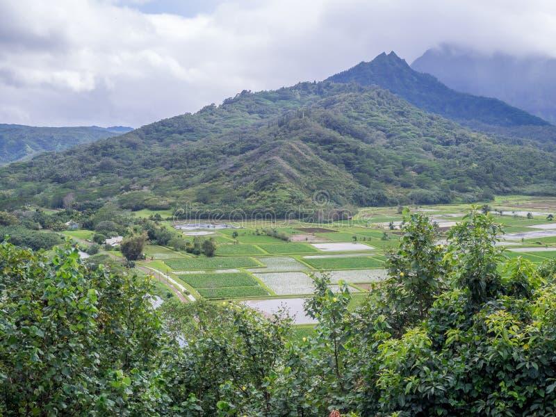 O Taro do vale de Hanalei coloca na ilha havaiana de Kauai imagem de stock royalty free