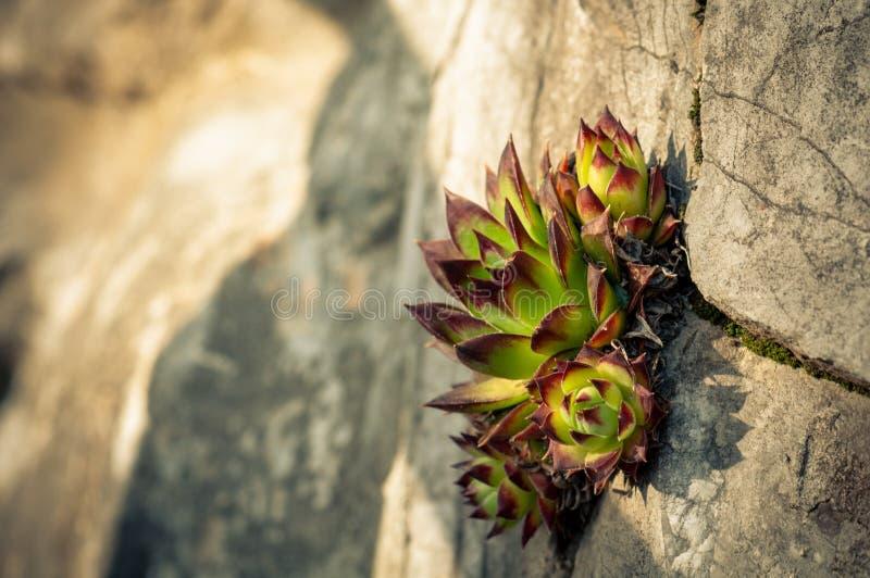 O tectorum maravilhoso de Sempervivum cresce no meio de uma parede rochosa imagens de stock royalty free