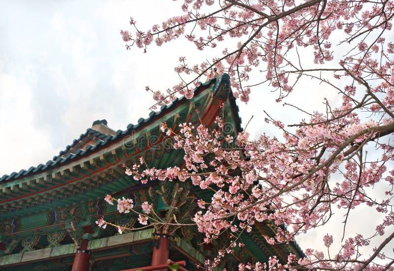 O templo budista em Jeju Coreia com sakura floresce imagem de stock royalty free