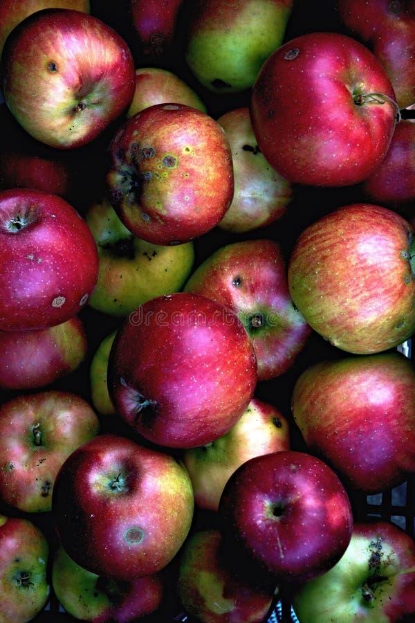O tempo de colheita do outono - a maioria de fruto do favourit - maçãs imagem de stock
