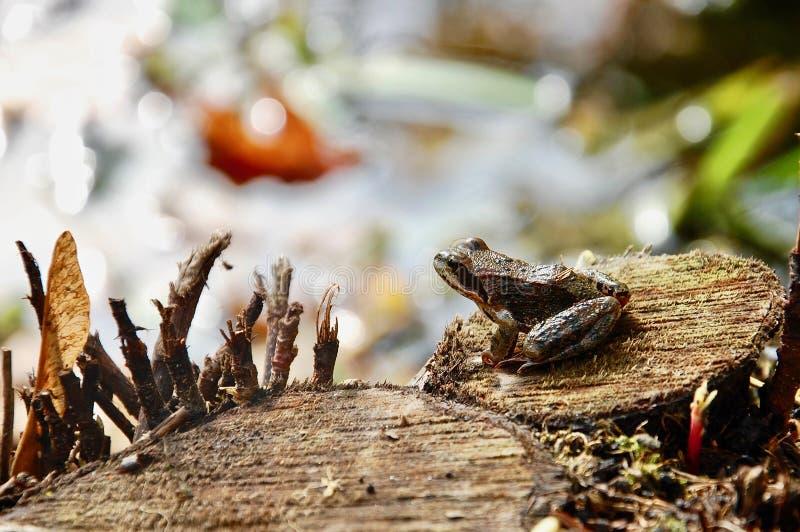 O temporaria marrom comum europeu de Rana da rã de grama no coto de madeira imagem de stock