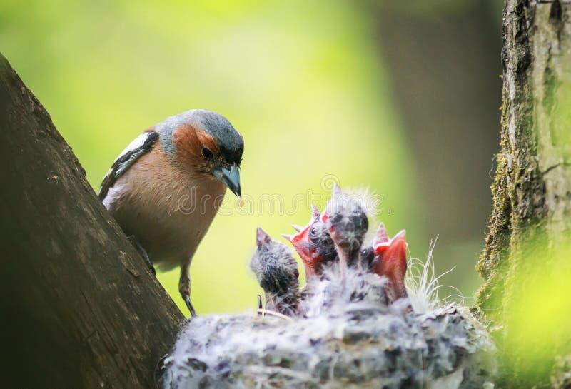 O tentilhão do pássaro alimenta seus pintainhos com fome novos no ninho no foto de stock